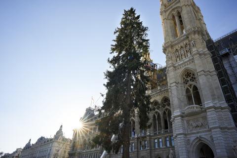 Aufstellung des Weihnachtsbaumes am Rathausplatz_2