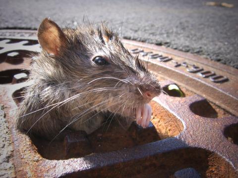 Ratte im Kanaldeckel