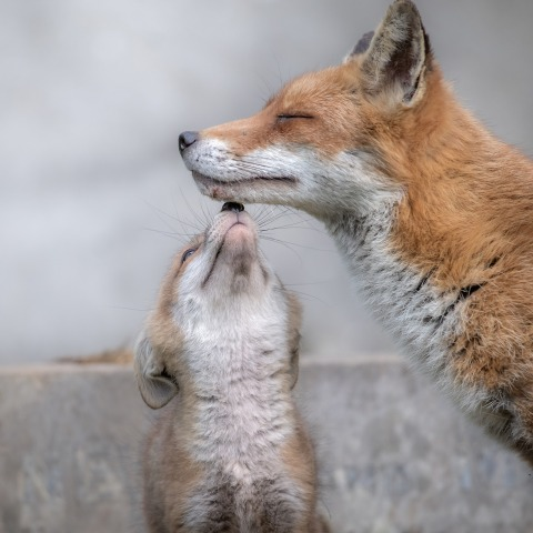 Mama Fuchs und Baby Fuchs