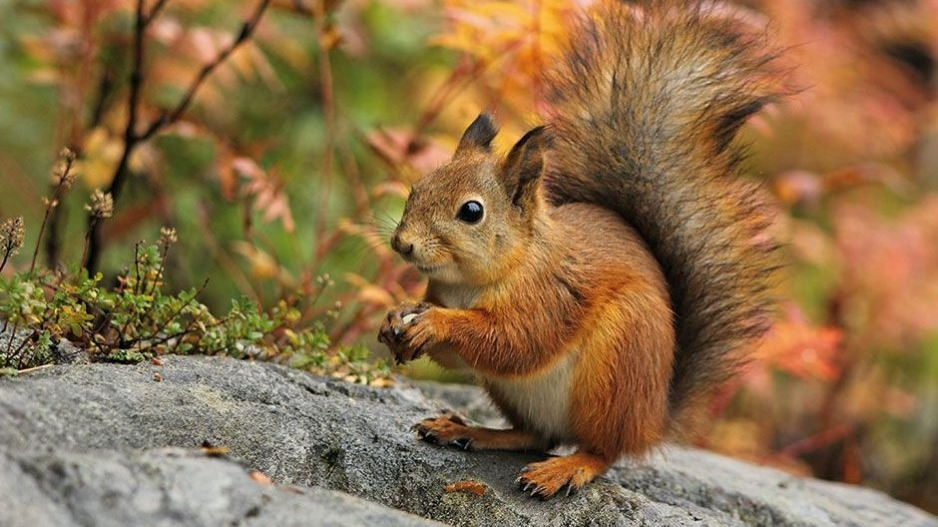 Eichhörnchen österreich