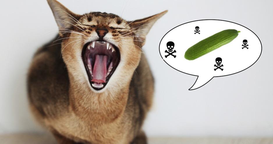 Warum Mögen Katzen Keine Gurken