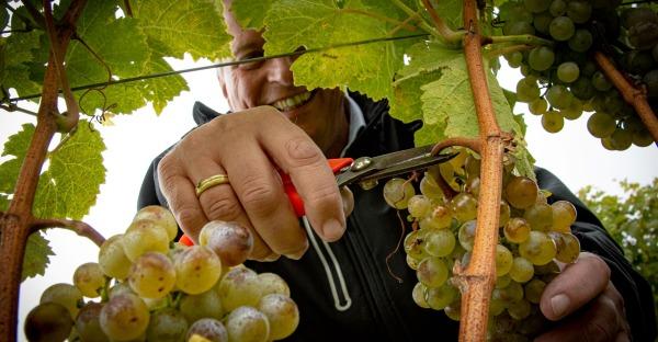 """""""Junger Wiener"""": Erster Wein der Saison ist da"""