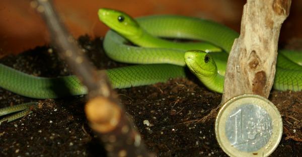 Giftig-grünes Trio: Mamba-Babys geschlüpft