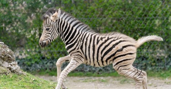 Entzückend: Zerbrafohlen im Zoo Schönbrunn