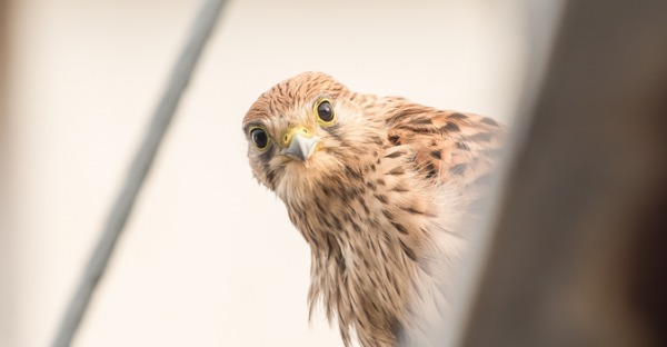 Vögel-Cam: Der Falke im Gemeindebau