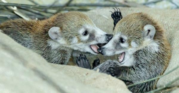 Nasenbären-Zwillinge im Zoo Schönbrunn geboren