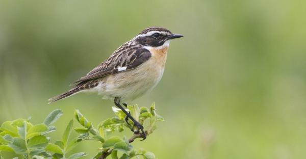 Diese Vögel sind in Oberösterreich vom Aussterben bedroht