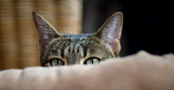 Ohren - die heimliche Wunderwaffe der Katzen